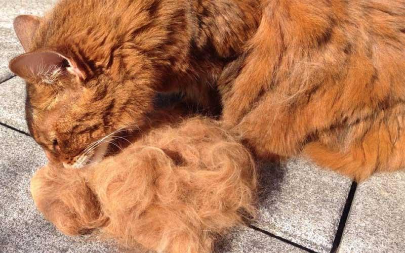 Fellpflege und Putzverhalten der Katze