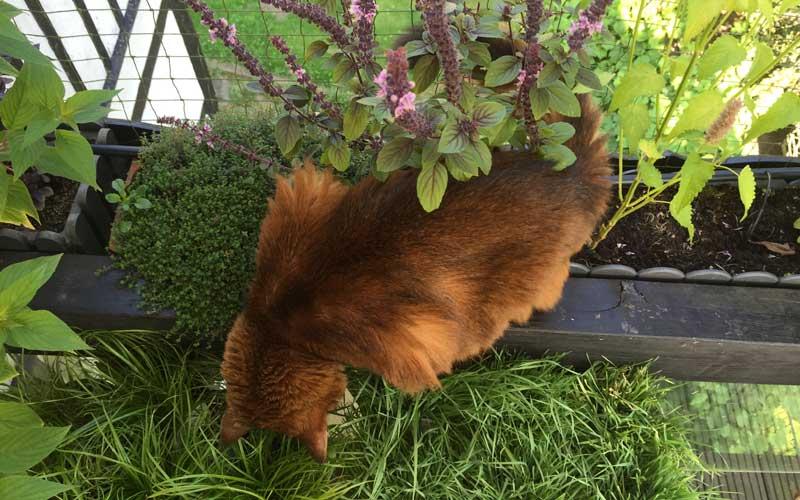 Mein Kater Pauli knabbert gerne an Katzengras und den Alternativen!