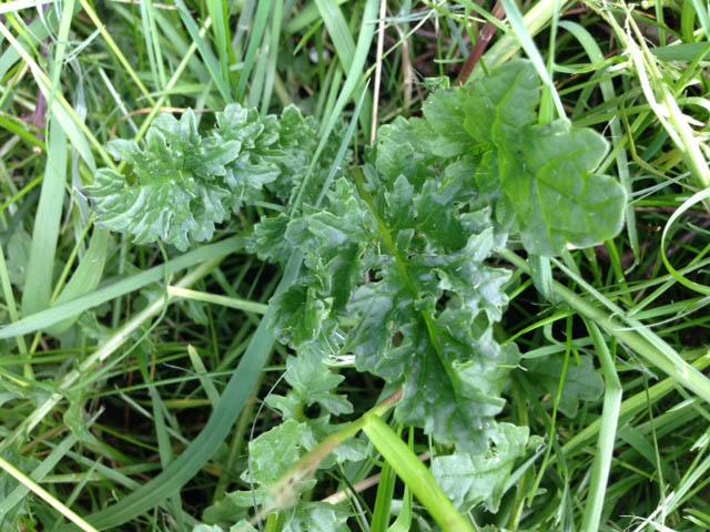 Blätter Jakobs-Kreuzkraut