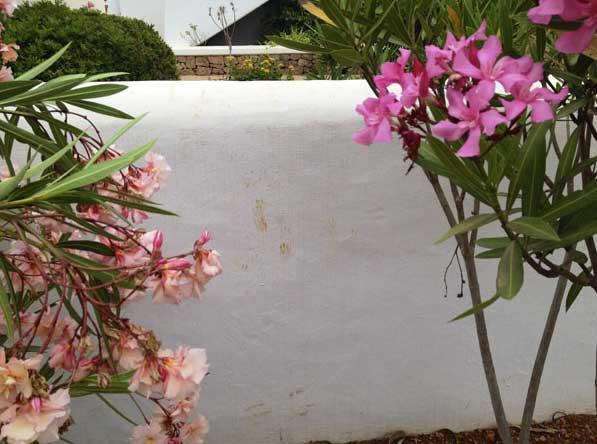 Oleander ist für Katzen extrem giftig