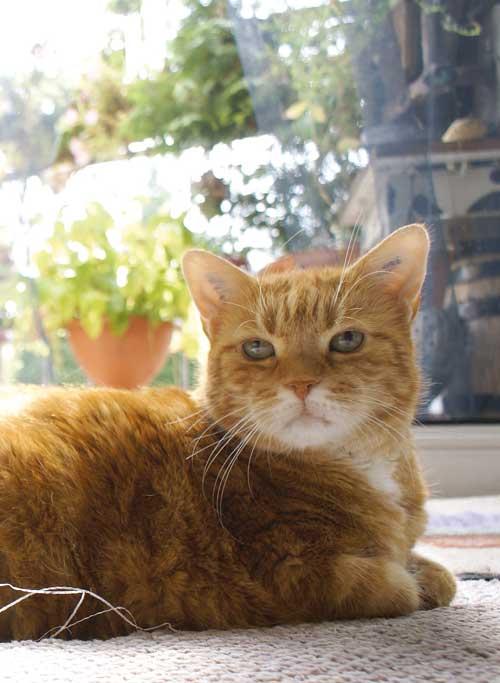 Unser Tiger als alte und noch gesunde Katze.