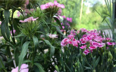 Nelken und andere Sommerpflanzen für den Katzenbalkon