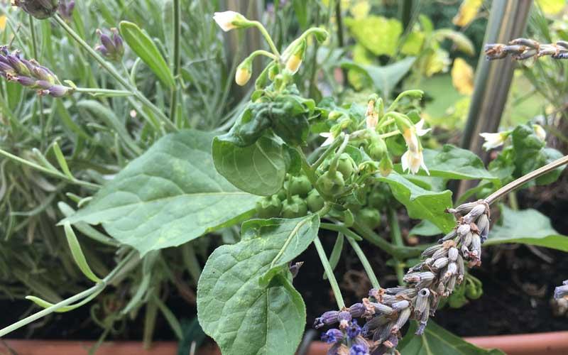 Die ganze Pflanze des Schwarzen Nachtschattens (Solanum nigrum) ist für Katzen giftig