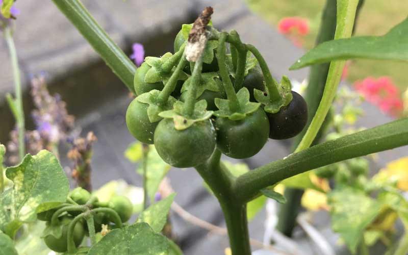 Die Beeren des Schwarzen Nachtschatten sehen aus wie kleine Tomaten
