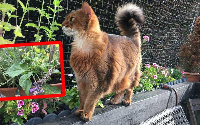 Schwarzer Nachtschatten (Solanum nigrum) ist für Katzen giftig
