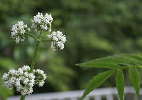 Baldrian ist eine für Katzen geeignete Pflanze