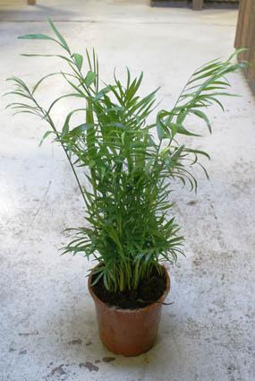 Bergpalme ganze Pflanze