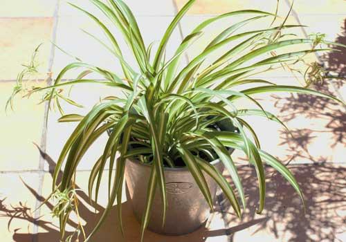 Die Grünlilie ist eine bedingt für Katzen geeignete Pflanze