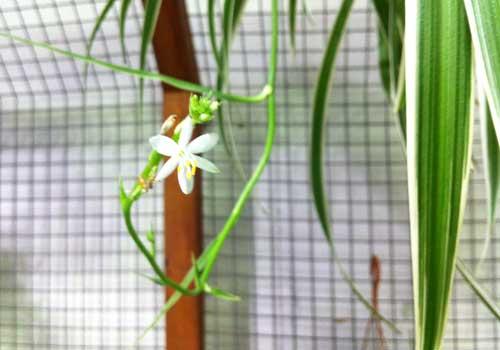 Die Blüten der Grünlilie sollten entfernt werden, um die Samenbildung zu vermeiden.