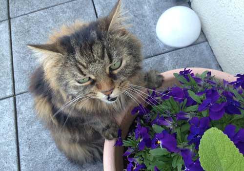 Hornveilchen und Stiefmütterchen sind für Katzen geeignete Pflanzen