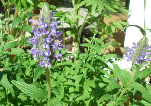 Kaschmirminze ist eine für Katzen geeignete Pflanze
