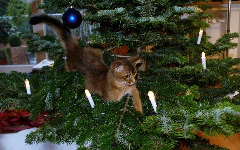 Gefahr für Katzen - der Weihnachtsbaum