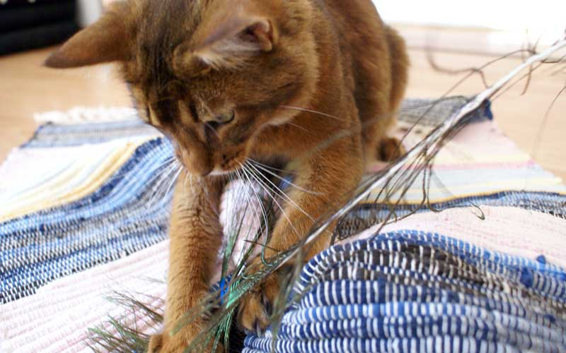 Katzenspiel - Pauli mit Spieleteppich und Pfauenfeder