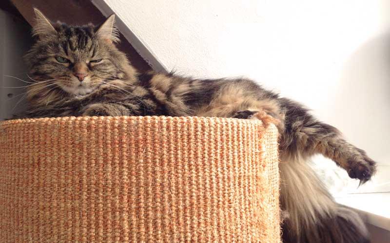 Erfahre im Katzenhaltercoaching alles über die Bedeutung des Kratzbaums