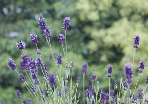 Lavendel ist eine für Katzen geeignete Pflanze