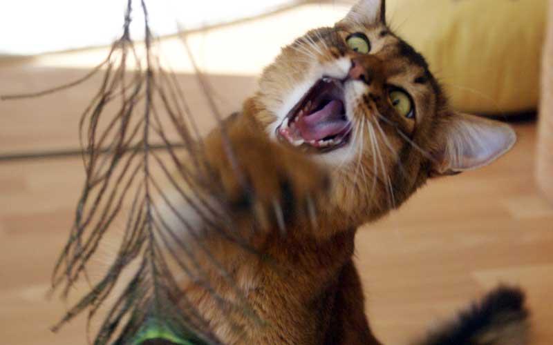 Eine Pfauenfeder ist nur eine von vielen Katzenspielzeug Ideen