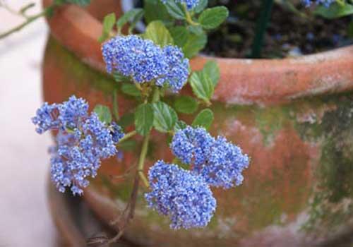 Die Säckelblume ist eine bedingt für Katzen geeignete Pflanze