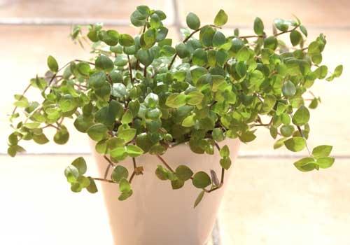 Golliwoog® ist eine für Katzen geeignete Pflanze