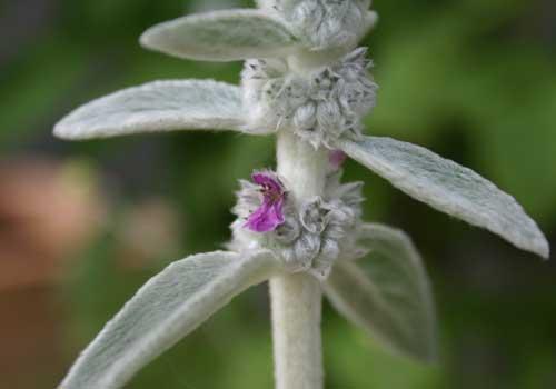 Wollziest Blüten locken Bienen an