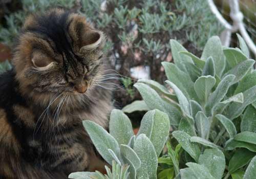 Wollziest ist eine für Katzen geeignete Pflanze